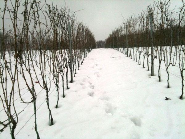 Weingarten und Schnee, Vineyard and Snow