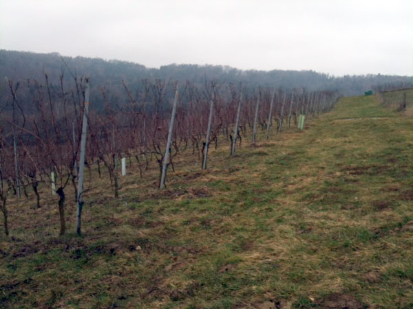 Weingarten_vor-dem-Schnitt