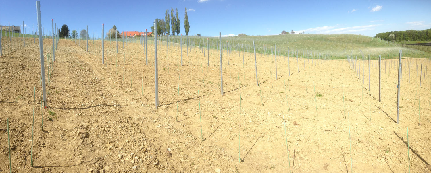 Nie neue Heimat von Pinot. // A new home for Pinot.